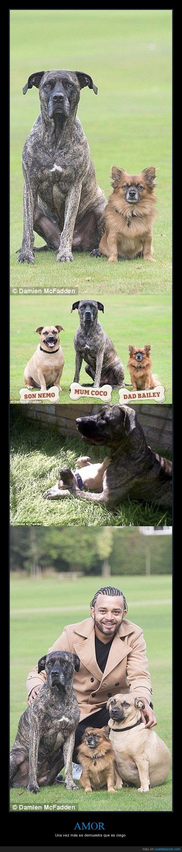 cruce,hijo,mastín,perros,pomerania
