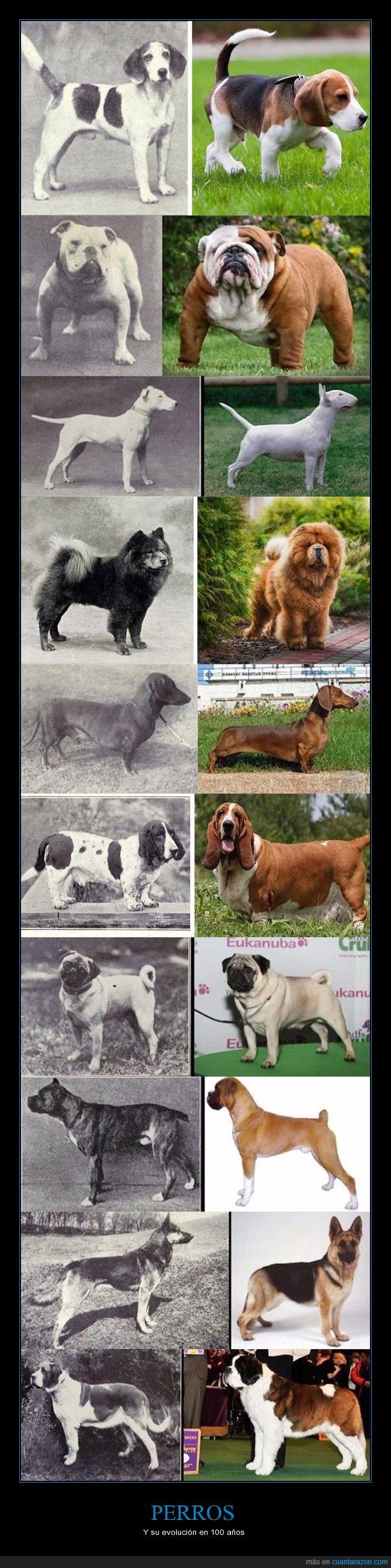 cruces,evolución,genética,perros,razas