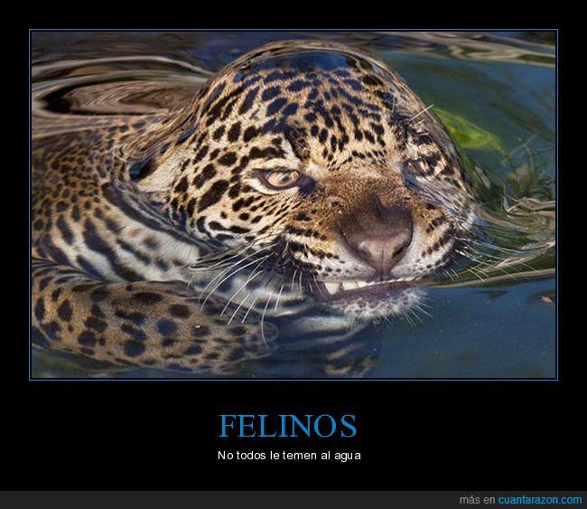 acechar,félido,felino,jaguar,leopardo,nadar