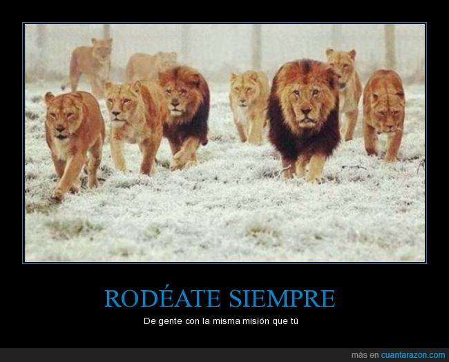leones,manada