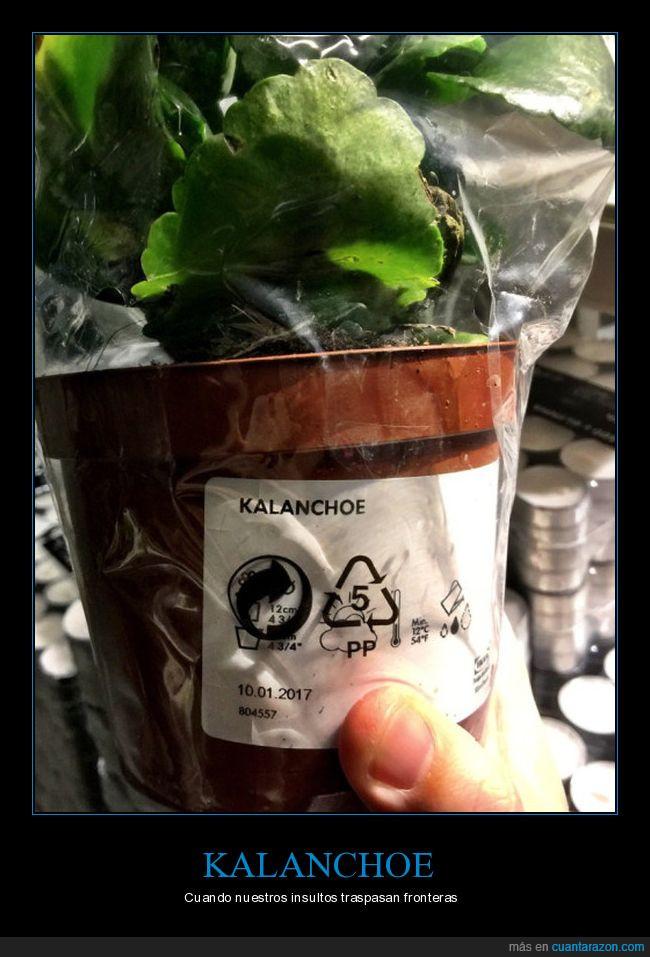 caranchoa,kalanchoe,planta,tiesto