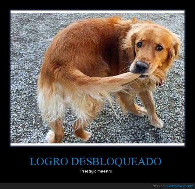 can,cola,labrador,perro