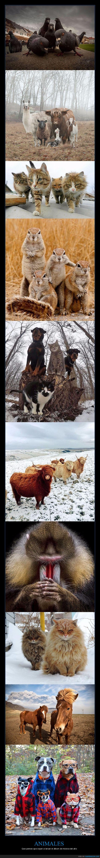 animales,bandas,grupos,perro,vaca