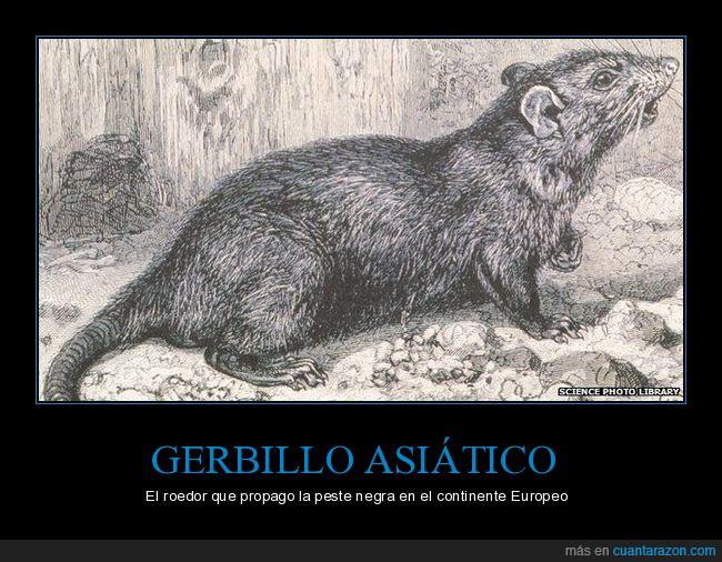 (no fueron las Ratas),gerbilino,Gerbillinae,gerbillo,peste negra