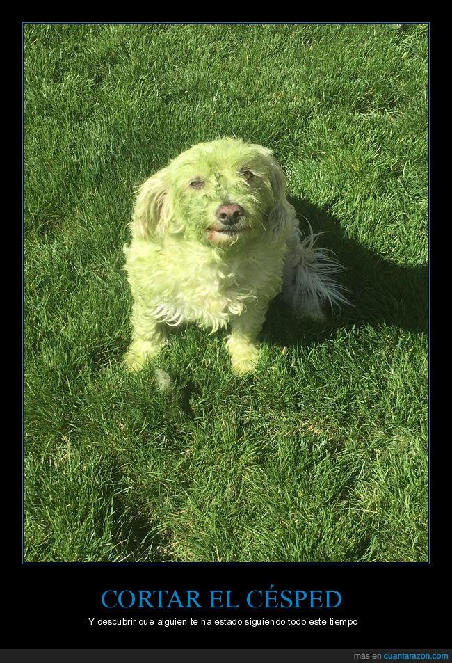 césped,perro,verde