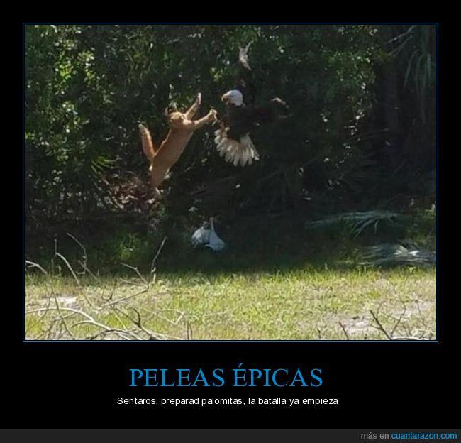 águila,enfrentamiento,épico,gato,palomitas,salto