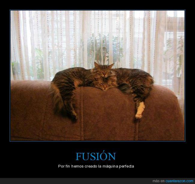 fusión,gatos,sofá