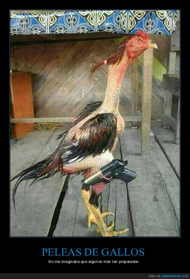 gallos,maltrato animal,pistola,preparado,vergüenza