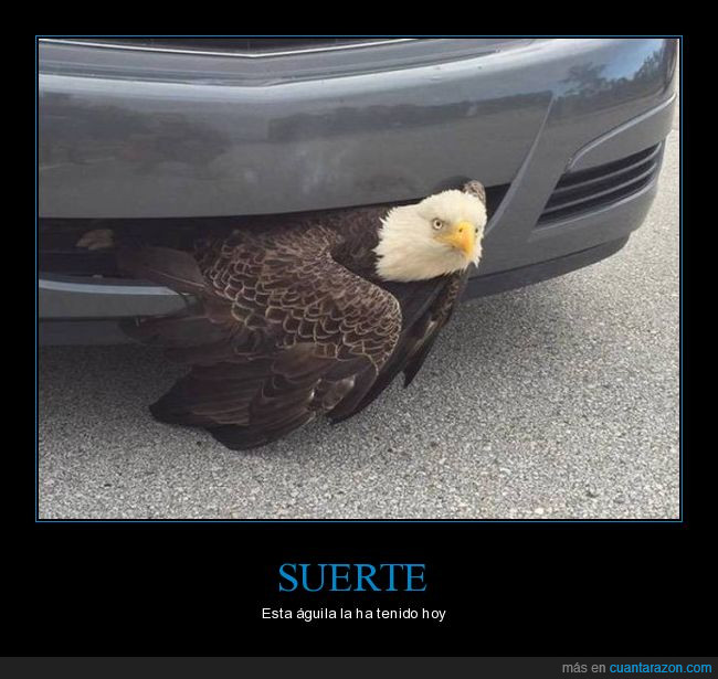 águila calva,auto,parachoques
