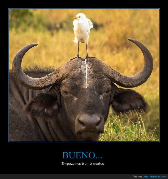 ave,buey,heces