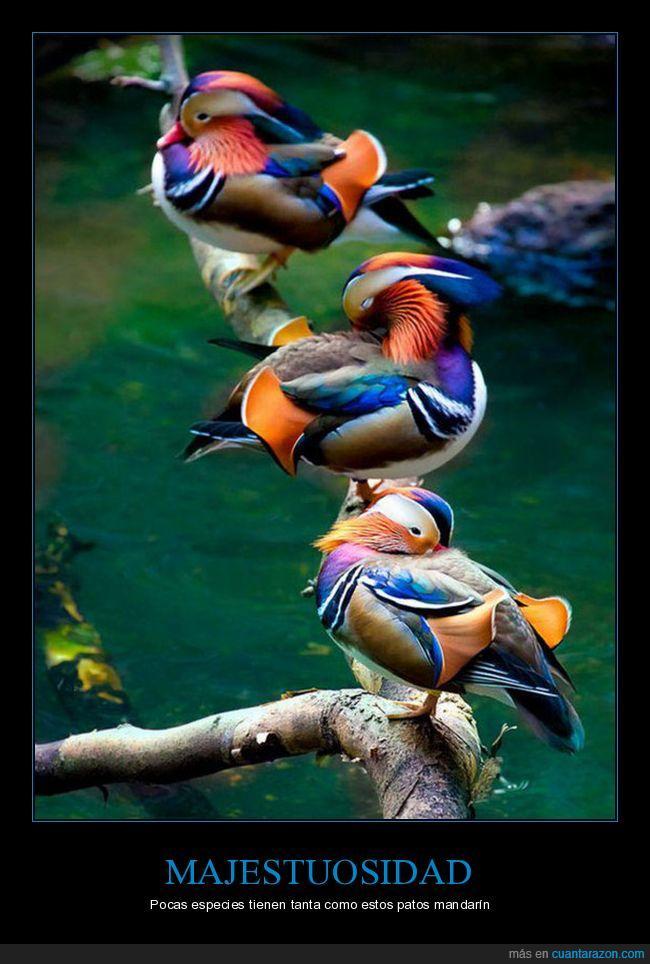 colores,pato mandarin,plumas