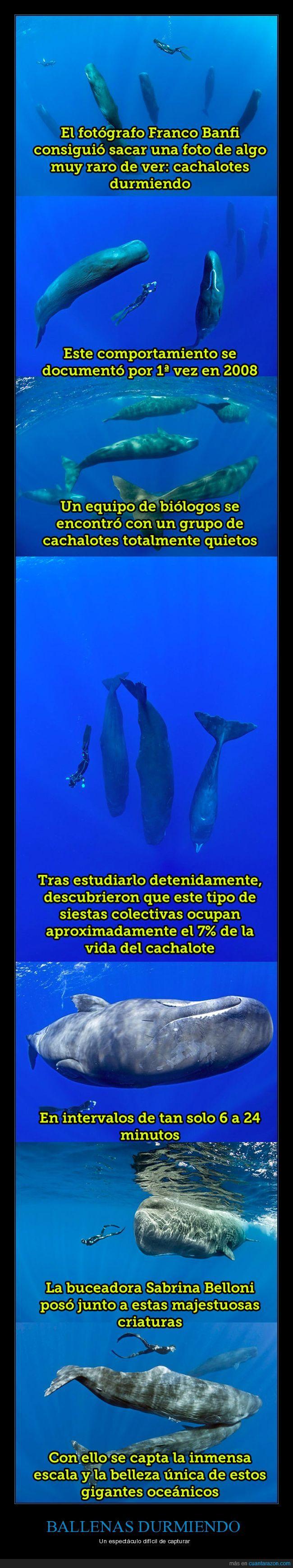 ballenas,cachalotes,dormir,mar