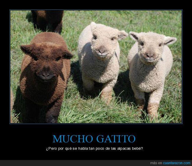 adorable,alpacas bebé,cute