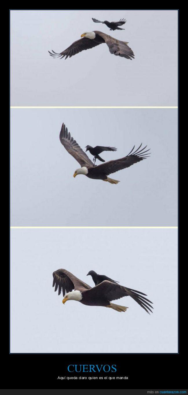 águila,cuervo