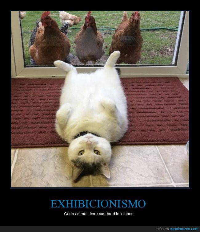 gallinas,gato,voyeur