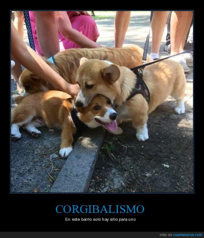 corgi,perros