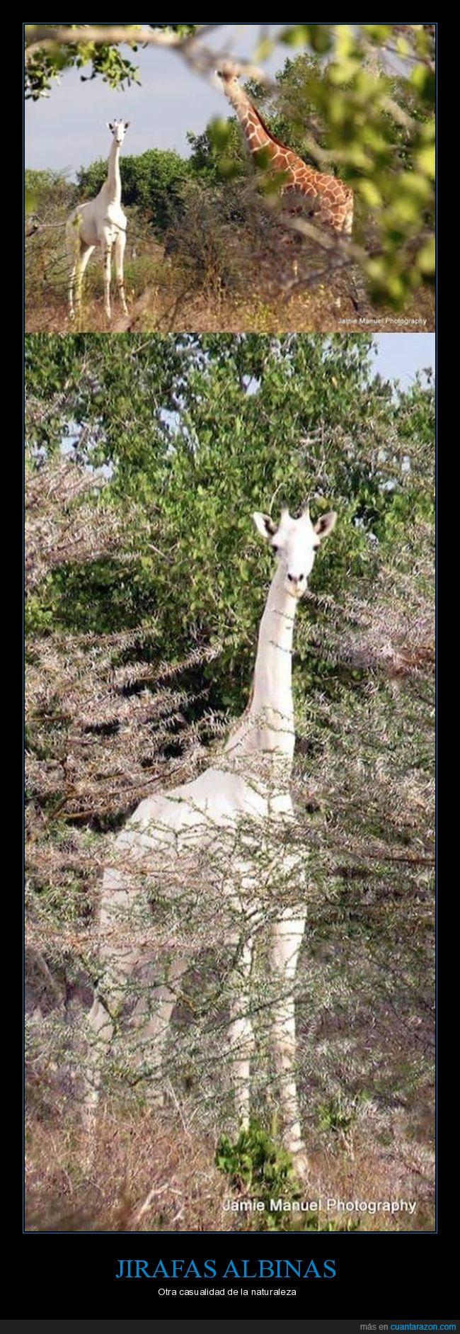 jirafa,maravilla,naturaleza