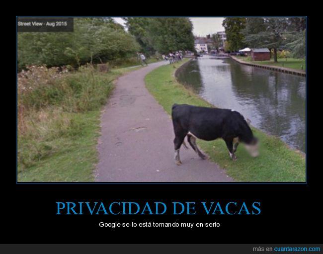 privacidad,vaca
