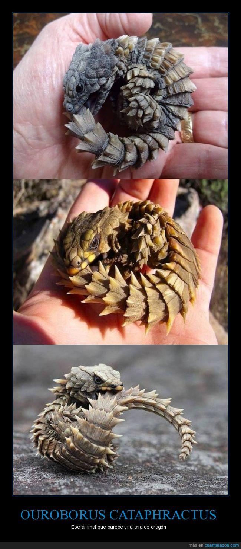 cría,dragón,lagarto armadillo,ouroborus cataphractus