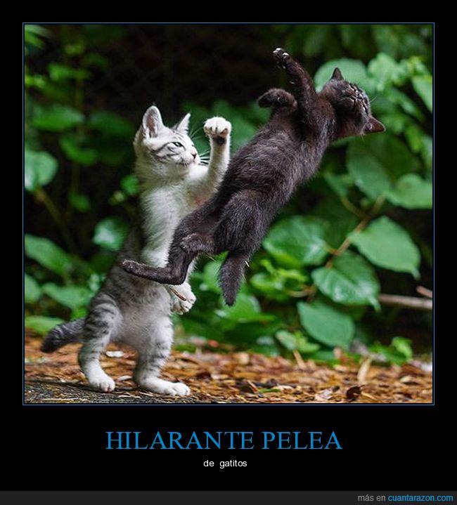 félidos,felinos,gatos,pelea