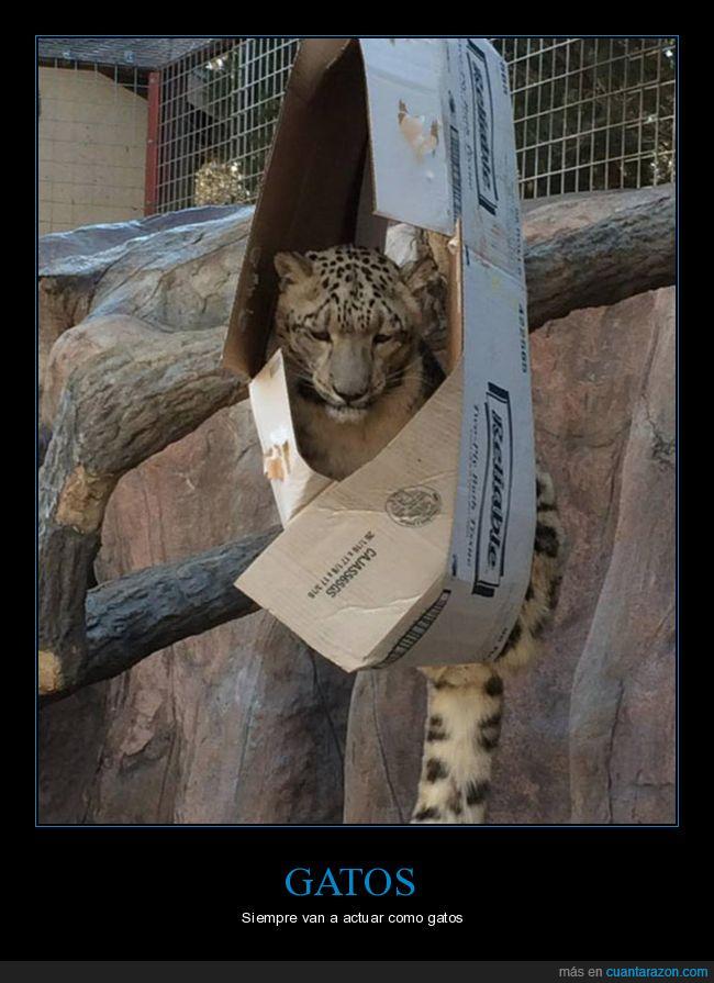 caja,felino,gato,leopardo