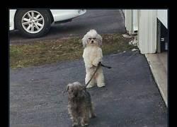 Enlace a Los perros están evolucionando