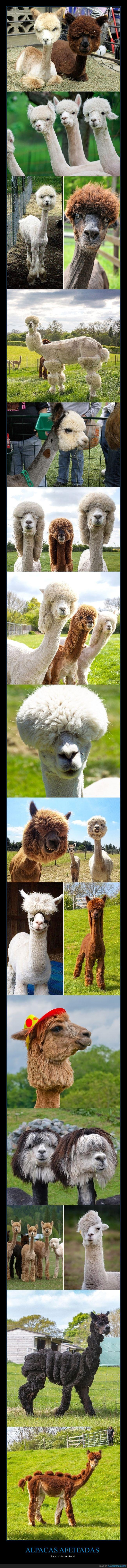 afeitas,alpacas,pelo