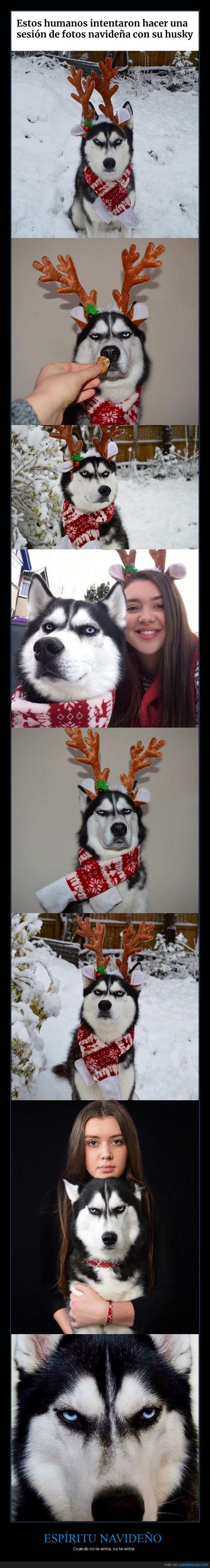 cara,enfadado,fotos,husky,navidad,perro