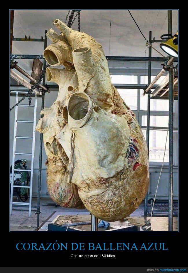 ballena,corazón,peso