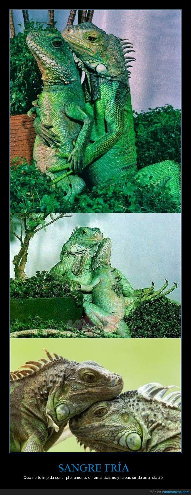 amor,lagartos,sangre fría