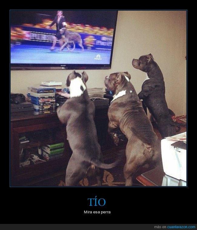 mirando,perros,televisión