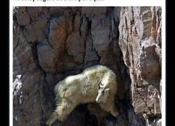 Enlace a Cabras empeñadas en demostrar que la gravedad no existe para ellas
