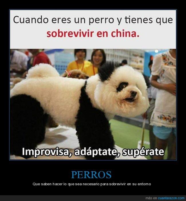 china,oso panda,perro,sobrevivir