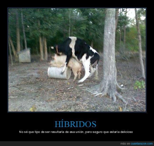 cerdo,copulando,vaca