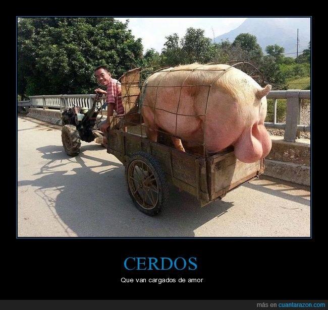 cerdo,gigantes,testículos