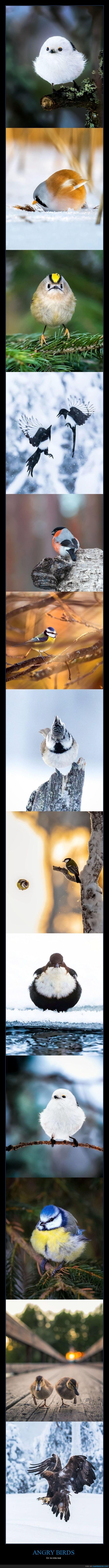angry birds,fotografía,pájaros
