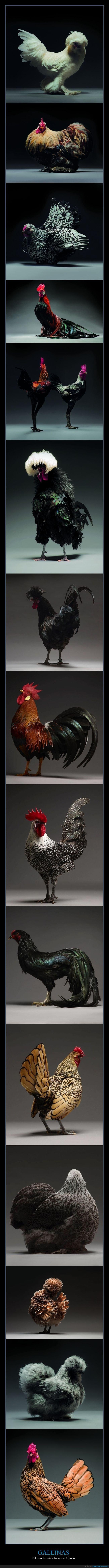 fotografía,gallinas