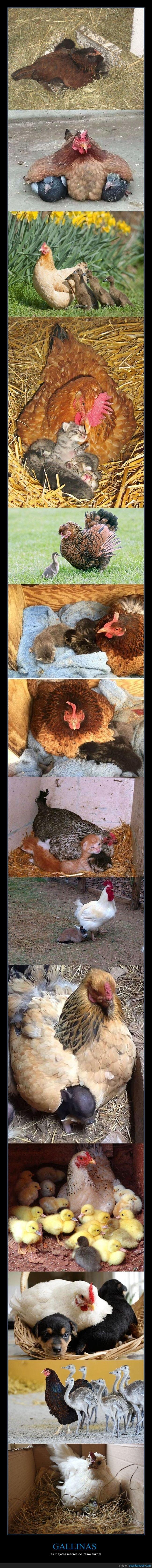 animales,gallinas,madres