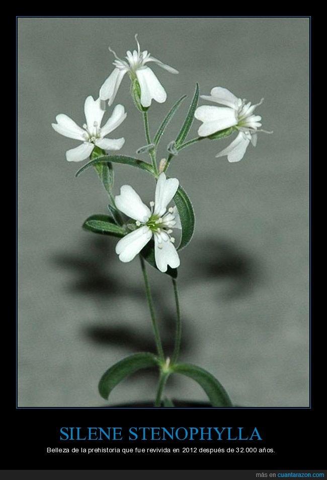 congelada,flor,prehistoria,revivida,siberia