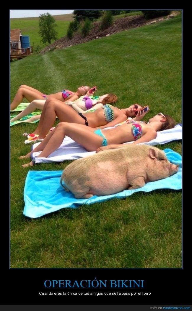 cerdo,operación bikini,tomando el sol