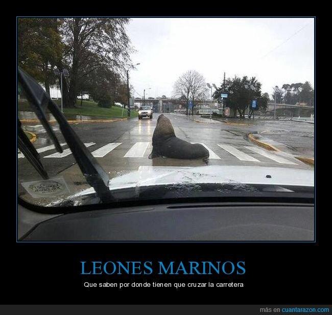 calle,cruzando,león marino