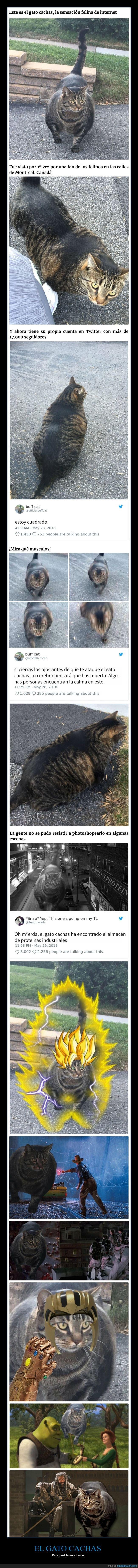 gato,gato cachas,musculoso