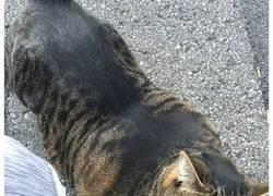 Enlace a Este gato increíblemente musculoso conquista internet