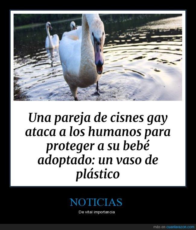 atacar,cisnes,gay,pareja,proteger,vaso de plástico