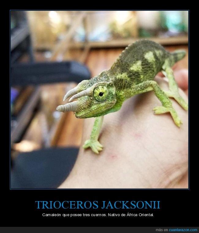 camaleón,cuernos,curiosidades,trioceros jacksonii