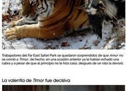 Enlace a Intentaron que un tigre se comiera a una cabra, en lugar de eso se hicieran amigos