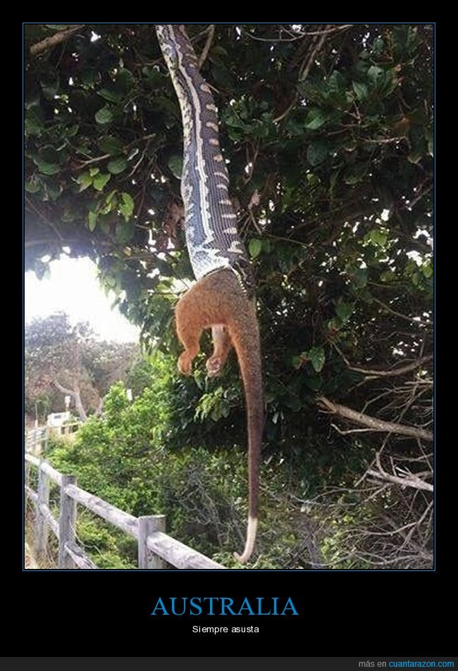 australia,comiendo,serpiente