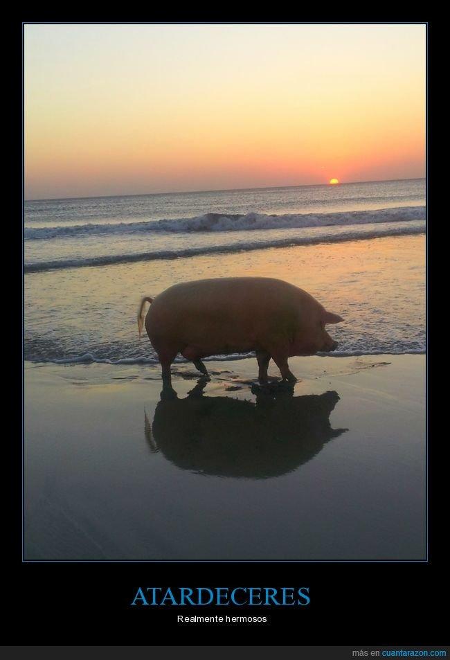 atardecer,cerdo,playa