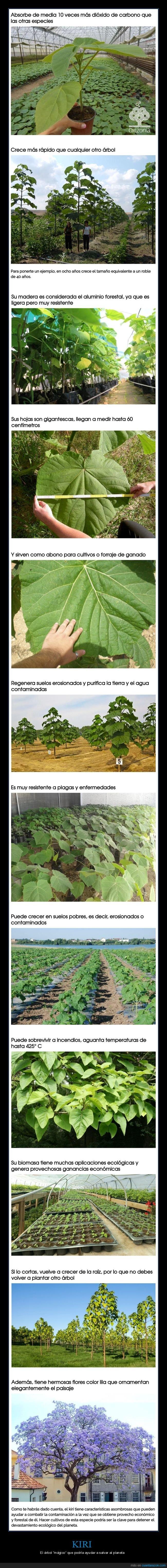 árbol,kiri,medio ambiente