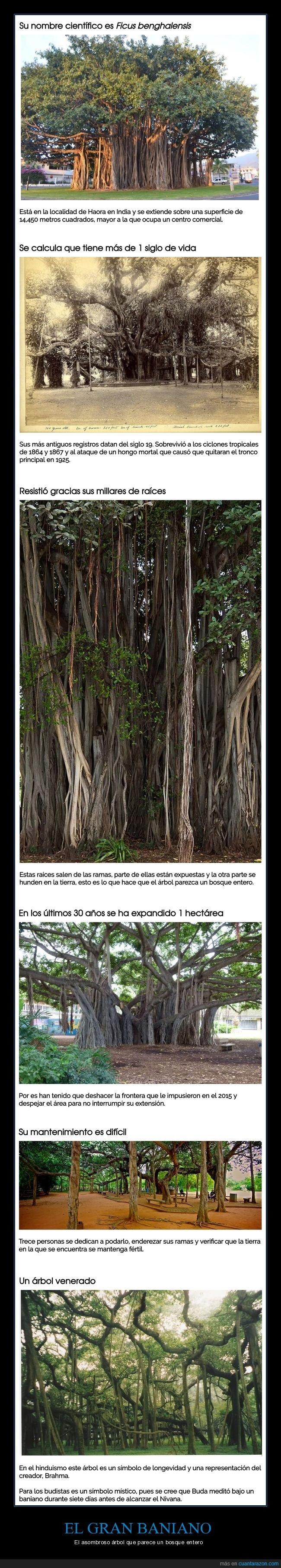 árbol,curiosidades,gran baniano